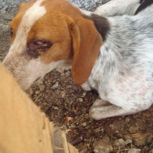beagle5.jpg