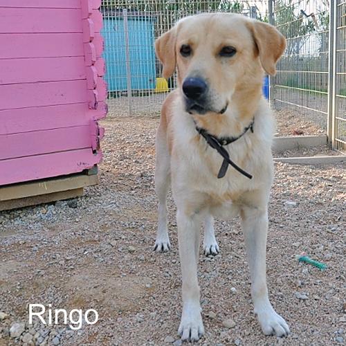 ringo_001.jpg