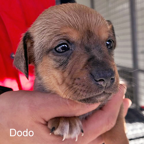 dodo_001.jpg